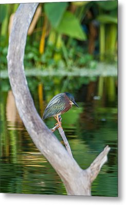 Green Heron On A Crystal Clear Lake Metal Print by Andres Leon