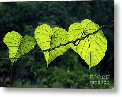 Green Leaves Metal Print by William Voon
