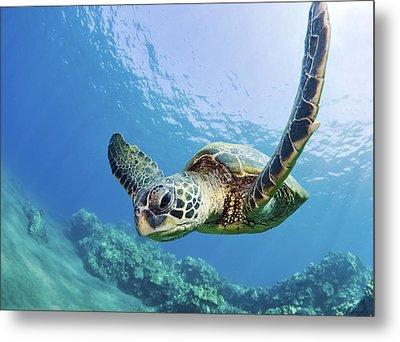 Green Sea Turtle - Maui Metal Print by M Swiet Productions