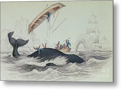 Greenland Whale Book Illustration Engraved By William Home Lizars  Metal Print by James Stewart
