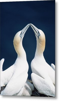 Greeting Northern Gannets Canada Metal Print by