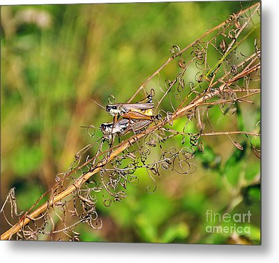 Gregarious Grasshoppers Metal Print by Al Powell Photography USA