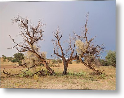 Grey Camelthorn Tree In The Auob Riverbed Metal Print by Tony Camacho
