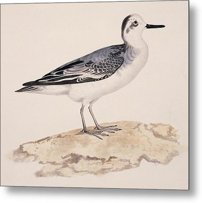 Grey Phalarope, 19th Century Metal Print by Science Photo Library