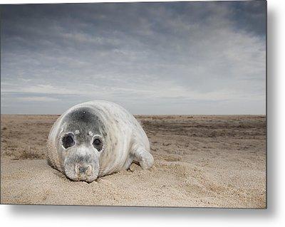 Grey Seal On Beach Norfolk England Metal Print by Kyle Moore