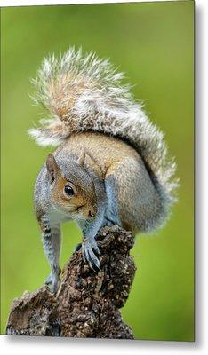 Grey Squirrel Metal Print by Dr P. Marazzi