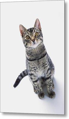 Grey Tabby Cat Looking Upwardvancouver Metal Print by Thomas Kitchin & Victoria Hurst