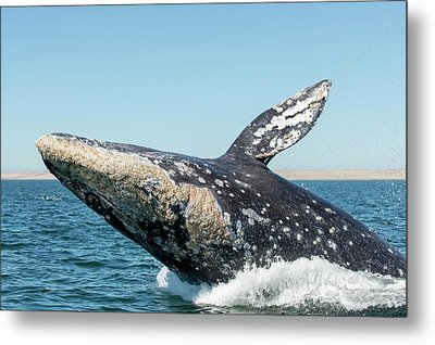 Grey Whale Breaching Metal Print by Christopher Swann