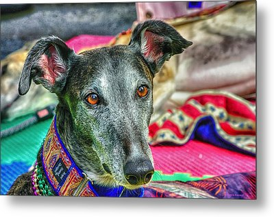 Greyhound Rescue  Metal Print by Dennis  Baswell