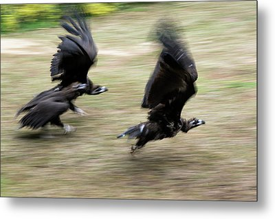 Griffon Vultures Taking Off Metal Print by Pan Xunbin