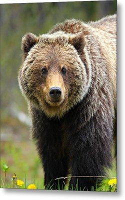 Grizzly Metal Print by Stephen Stookey