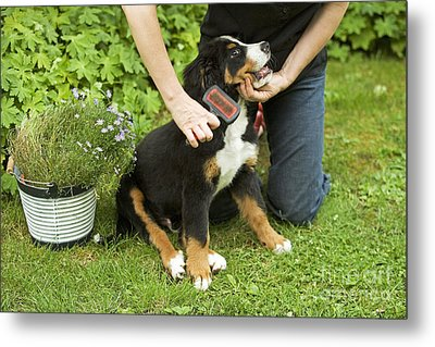 Grooming Bernese Mountain Puppy Metal Print by Jean-Michel Labat