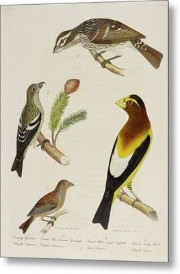 Grosbeak And Crossbill Metal Print by British Library