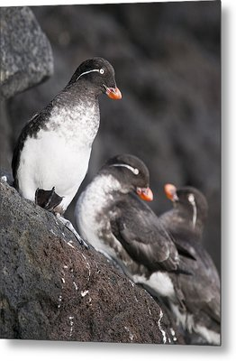 Group Of Parakeet Auklets, St. Paul Metal Print by John Gibbens