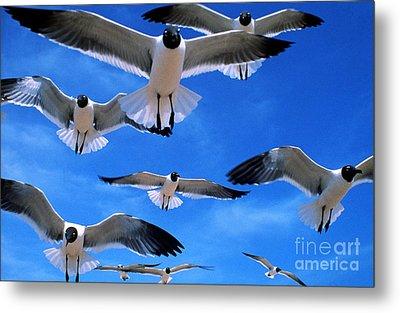 Gulls In Flight Metal Print by Geoge Ranalli
