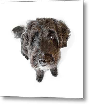 Hairy Dog Photographic Caricature Metal Print by Natalie Kinnear