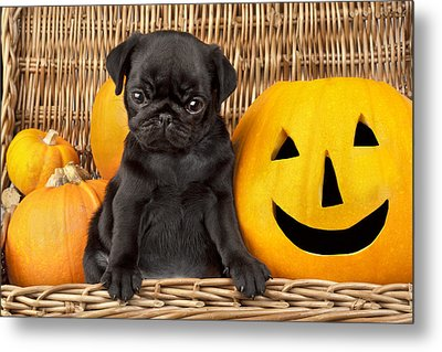 Halloween Pug Metal Print by Greg Cuddiford