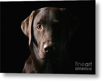 Handsome Chocolate Labrador Metal Print by Justin Paget