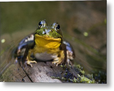 Happiness Frog Metal Print by Christina Rollo