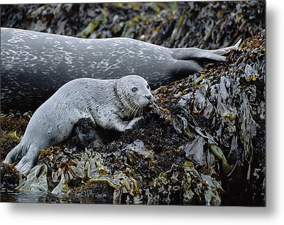 Harbor Seal Pup Resting Metal Print by Suzi Eszterhas