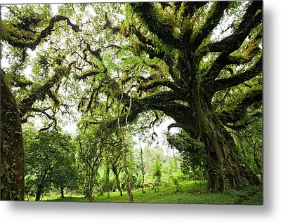 Harenna Forest Metal Print by Photostock-israel