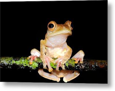 Harlequin Flying Frog, Malaysia Metal Print by Fletcher & Baylis