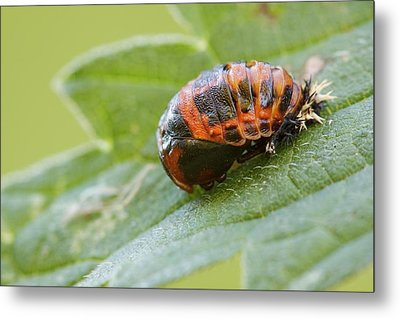 Harlequin Ladybird Pupa Metal Print by Heath Mcdonald
