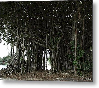 Hawaiian Banyan Tree - Hilo City Metal Print by Daniel Hagerman