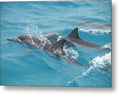 Hawaiian Spinner Dolphin / Stenella Metal Print by Daisy Gilardini