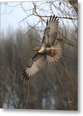 Hawk In Flight Metal Print by Angie Vogel