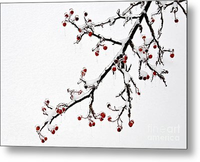 Hawthorn Ice And Snow - D004830 Metal Print by Daniel Dempster