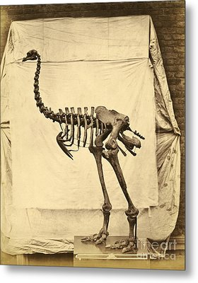 Heavy Footed Moa Skeleton Metal Print by Getty Research Institute