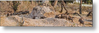 Herd Of Warthogs Phacochoerus Metal Print by Panoramic Images