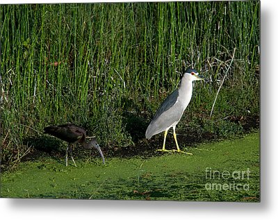Heron And Ibis Metal Print by Mark Newman