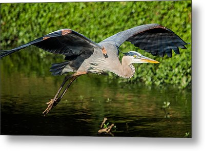 Heron In Flight Metal Print by Parker Cunningham