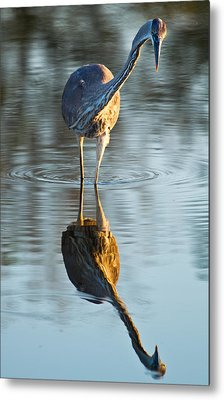 Heron Looking At Its Own Reflection Metal Print by Andres Leon