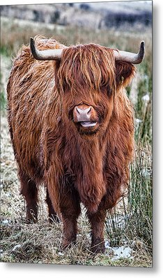 Highland Coo Metal Print by John Farnan