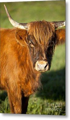 Highland Cow Metal Print by Brian Jannsen