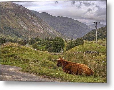 Highland Cow In Scotland Metal Print by Jason Politte
