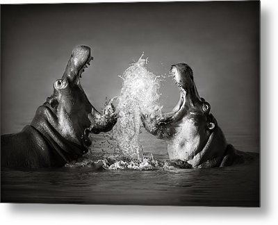 Hippo's Fighting Metal Print by Johan Swanepoel