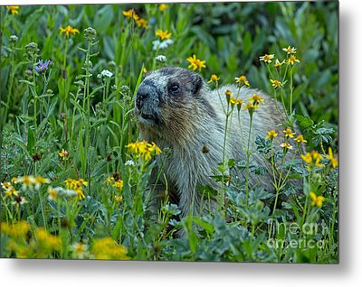 Hoary Marmot In Glacier Np Meadow Metal Print by Natural Focal Point Photography
