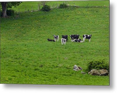 Holsteins Metal Print by Bill Wakeley