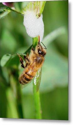 Honey Bee Drinking From Cuckoo-spit Metal Print by Dr. John Brackenbury
