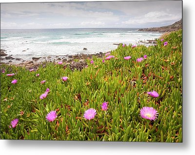 Hottentot Fig Metal Print by Ashley Cooper