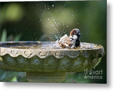 House Sparrow Washing Metal Print by Tim Gainey