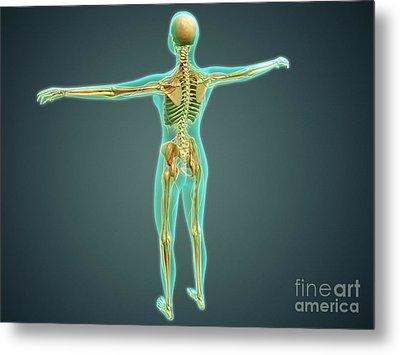 Human Body Showing Skeletal System Metal Print by Stocktrek Images