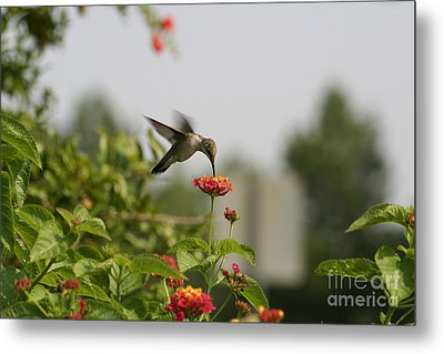 Hummingbird In Action 1 Metal Print by Amanda Collins