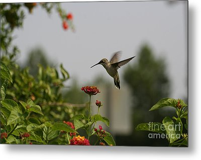 Hummingbird In Action 2 Metal Print by Amanda Collins