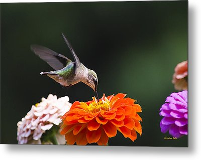 Hummingbird In Flight With Orange Zinnia Flower Metal Print by Christina Rollo