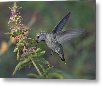 Hummingbird In The Morning Light Metal Print by Saija  Lehtonen